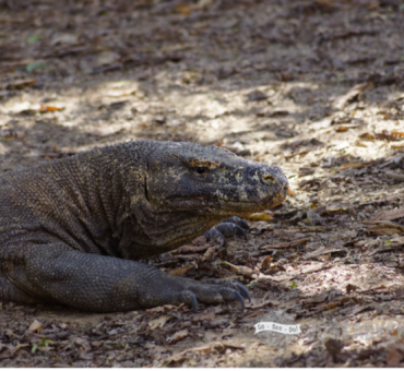 Enter the Komodo Dragon